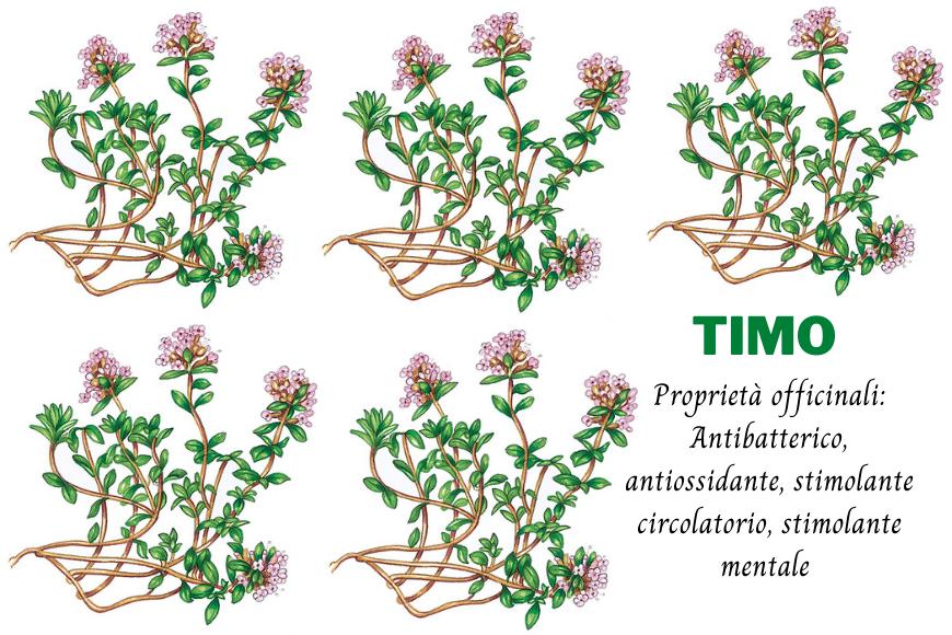 TIMO – proprietà officinali, curiosità e miti.
