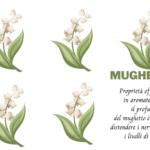 Lily of the Valley o Mughetto, proprietà officinali, profumo e miti.